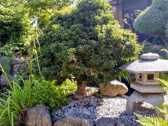 Japanischer Garten: Insel-Ahorn-Bonsai