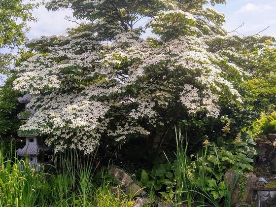 Cornus Kousa japonica, jetzt richtig reif
