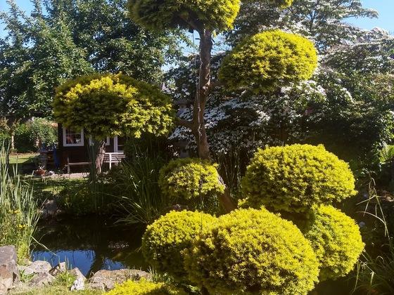Gartenbonsai, ca. 3 m hoch